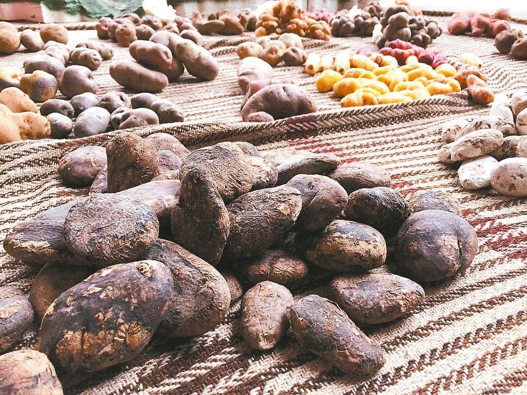 秘魯是馬鈴薯的家鄉,馬鈴薯公園種植超過六百種馬鈴薯。 記者蔣宗裕/攝影