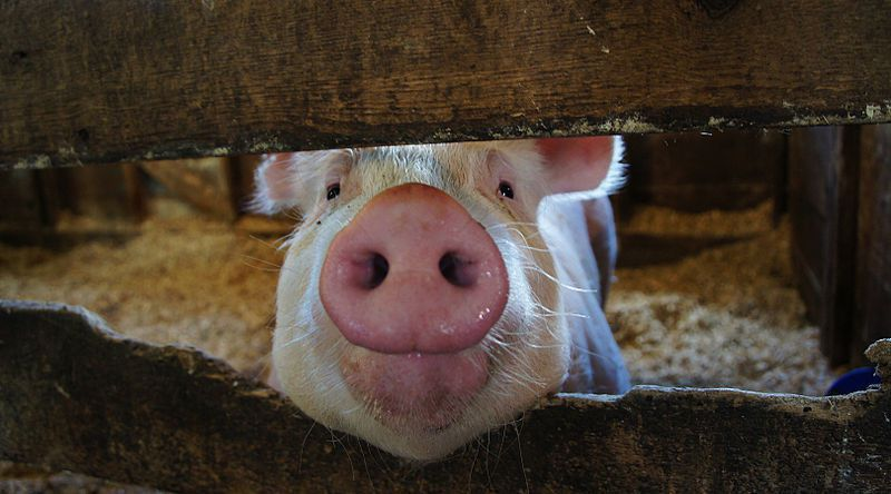 吃素就可以減少動物的痛苦嗎?圖/取自wikipedia