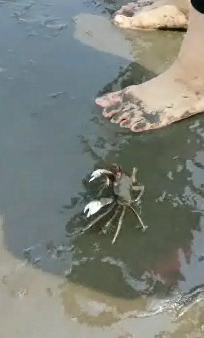 角眼沙蟹爬過遊客腳邊。圖片/余志忠提供