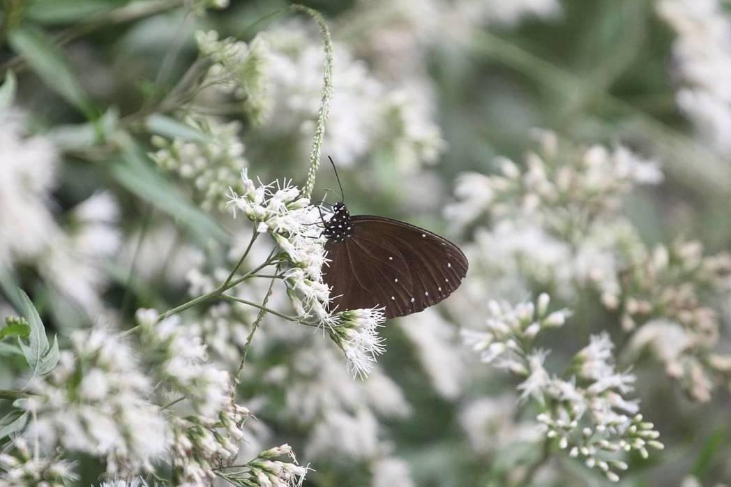 紫斑蝶。圖/莊信然提供