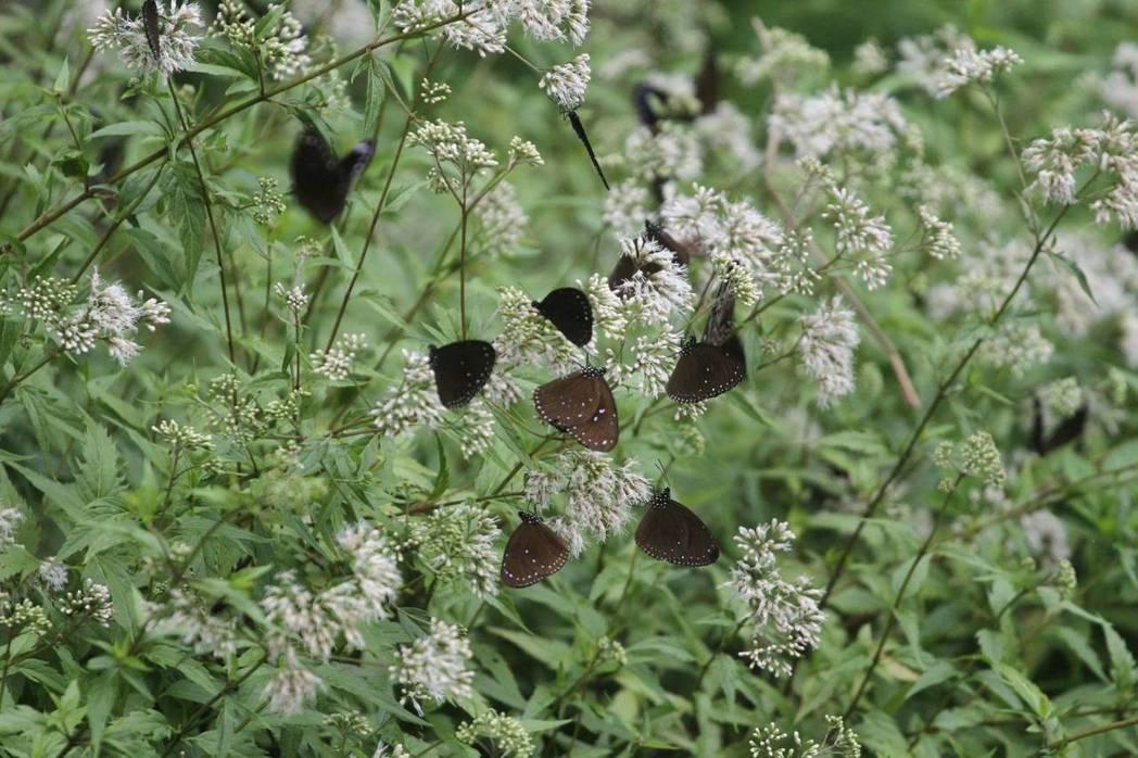 第一批紫斑蝶已大出璿在阿里山鄉達伊谷。圖/莊信然提供