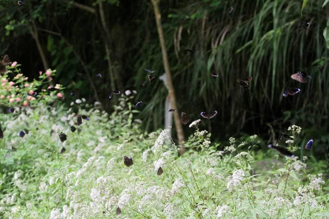 達娜伊谷有4種紫斑蝶。圖/莊信然提供