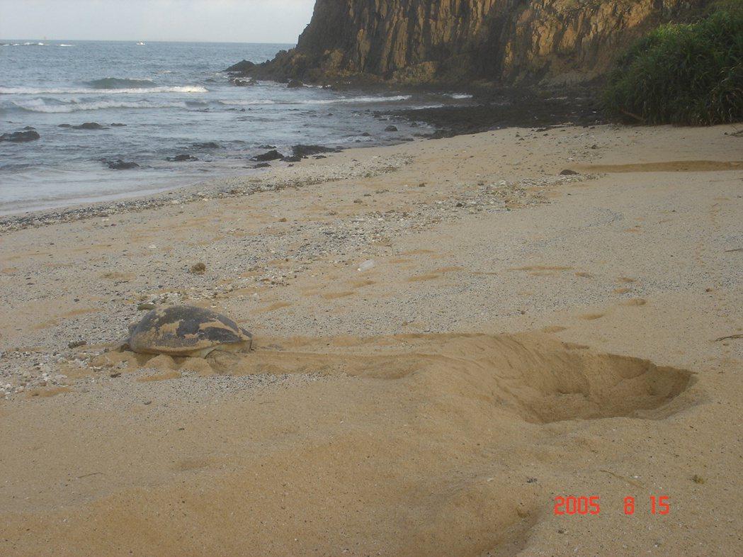 望安沙灘母龜。 圖/程一駿提供