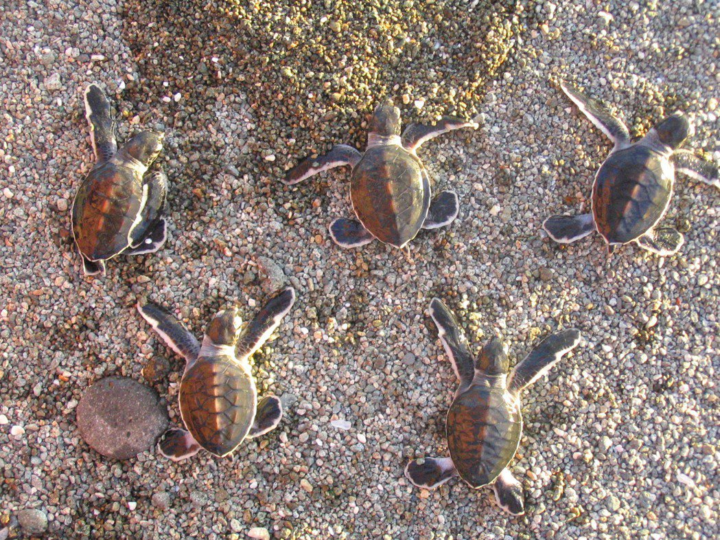 於蘭嶼孵化欲返回大海的綠蠵龜幼龜。 圖/程一駿提供