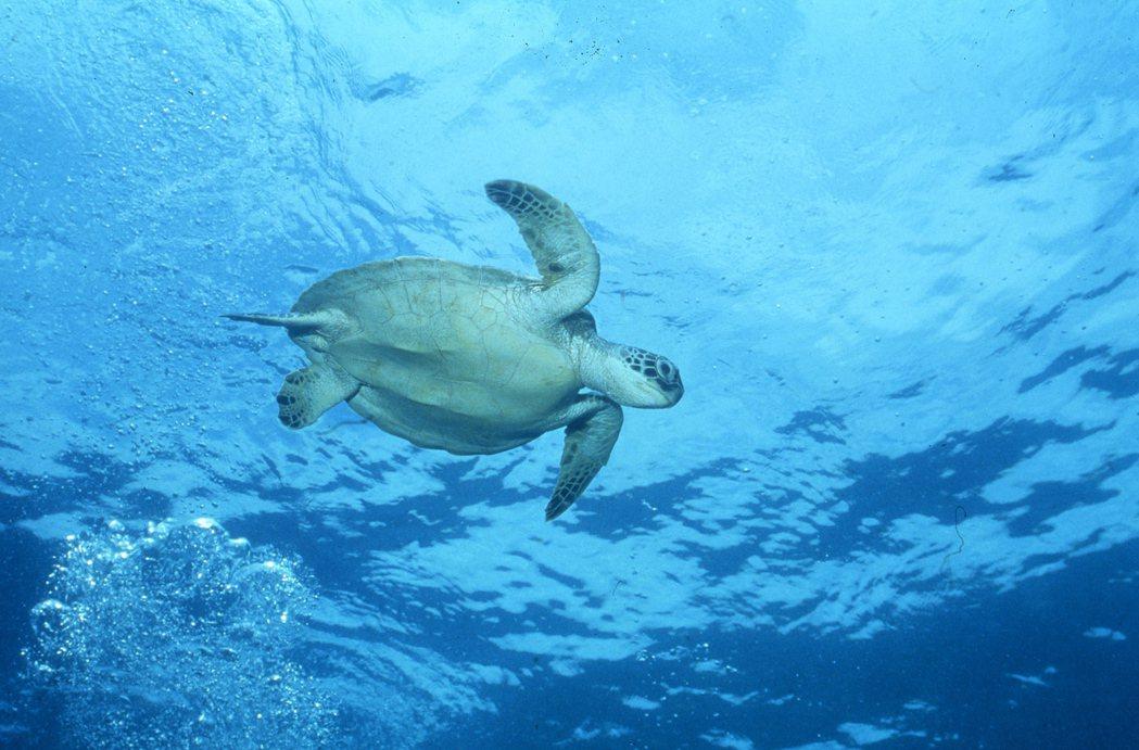 綠島周邊海域近年來增加不少亞成綠蠵龜悠游。 圖/鄭明修提供