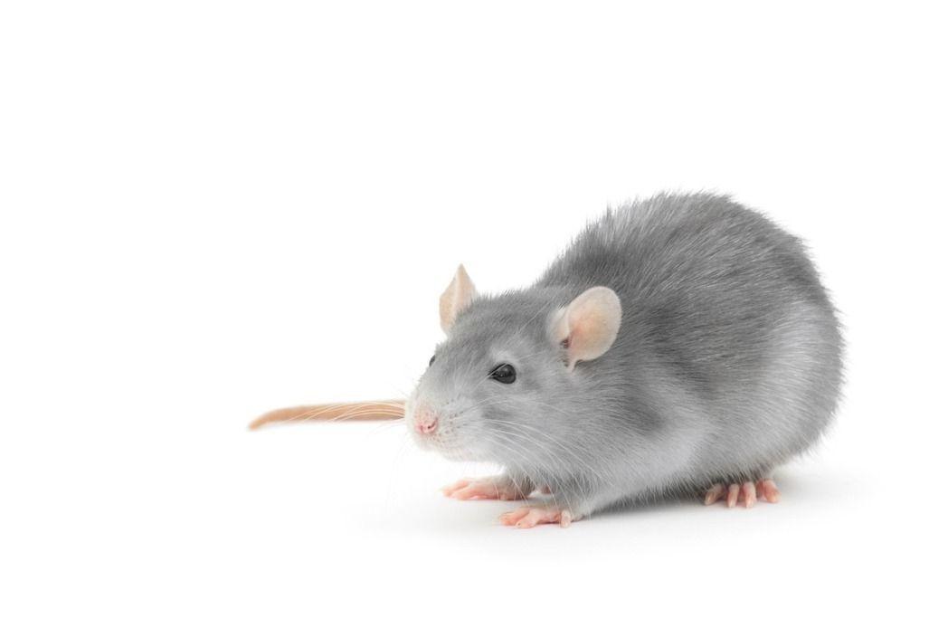 老鼠示意圖。 圖/ingimage