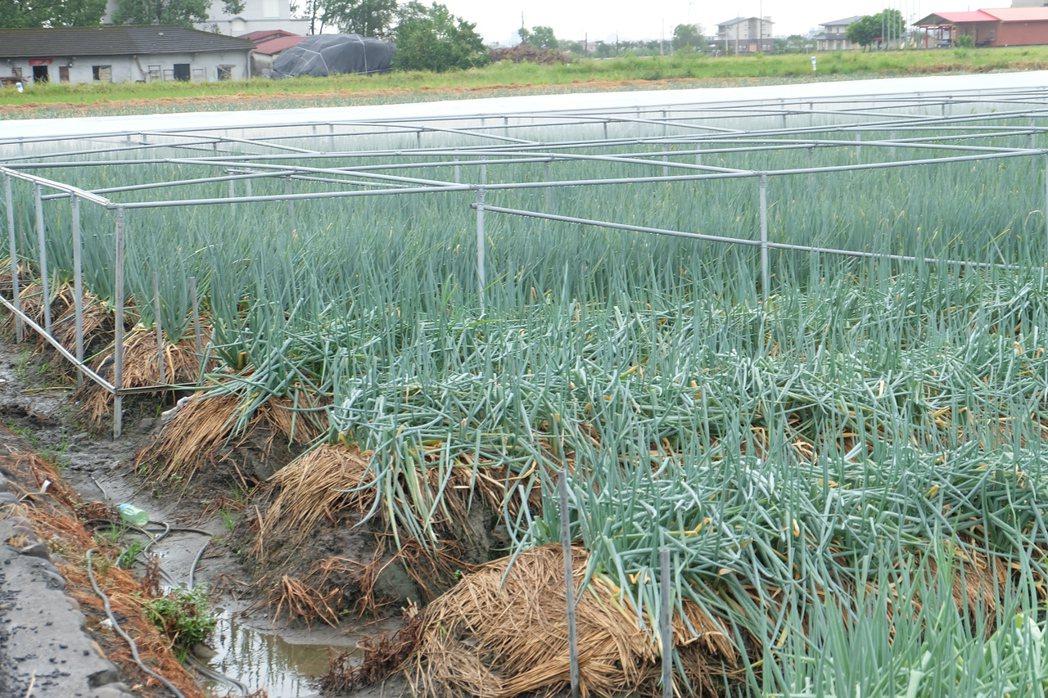 遇颱風時青蔥有無遮蔽,比對之下可發現差異極大。記者張芮瑜/攝影