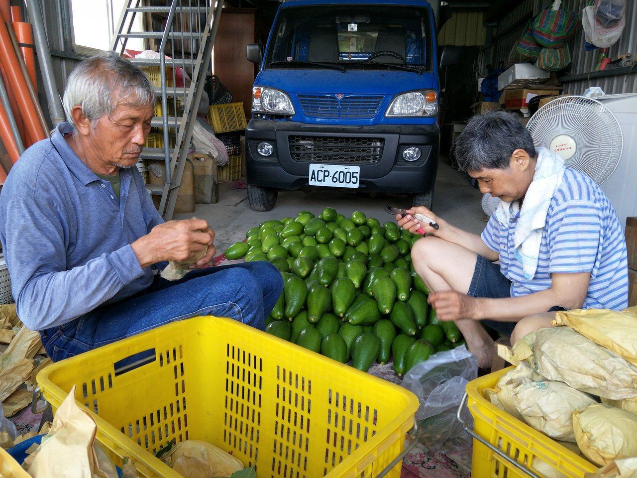 農民將採收的酪梨忙出貨。記者謝進盛/攝影