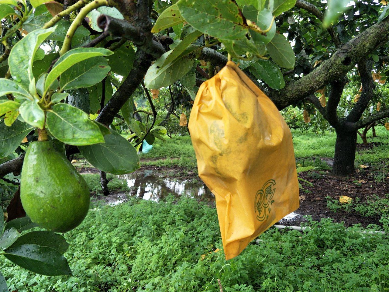 躲過尼莎及海棠颱風威脅,台南市大內區盛產的酪梨僅零星落果。記者謝進盛/攝影