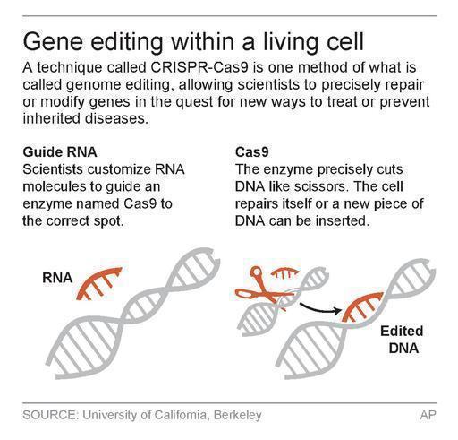 CRISPR-Cas9編輯方法圖示。(美聯社) 向曉倩
