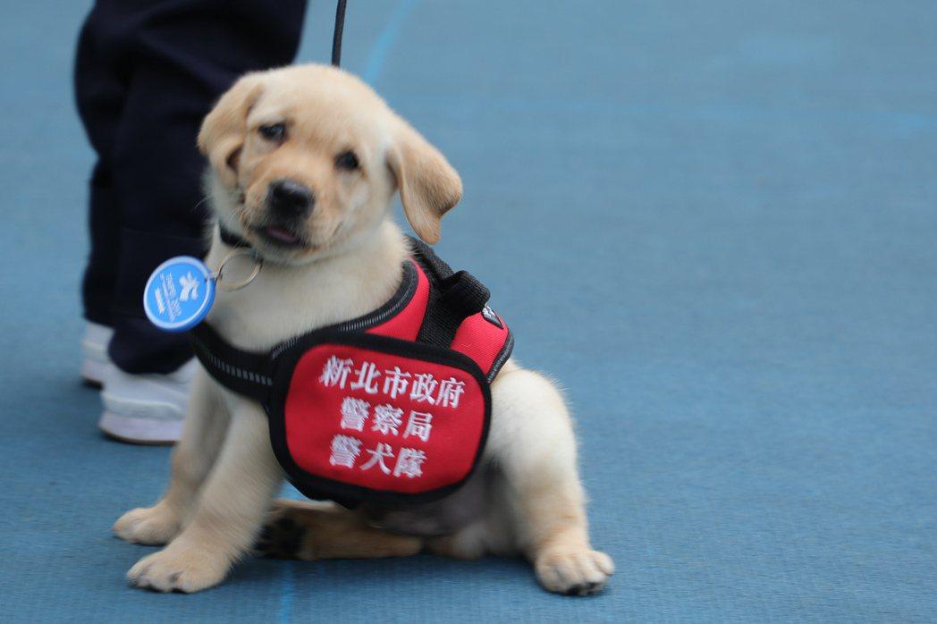 新北市警犬隊6隻今年新出生的小警犬,在臉書「NPA署長室」貼出多張照片,名叫「福...