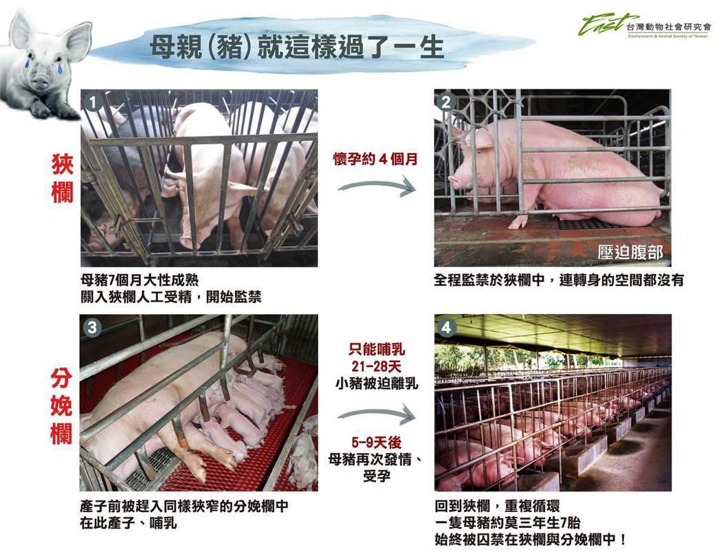 台灣動物社會研究會指出全國每年有60萬隻母豬終生被迫不斷懷孕產子,卻在狹欄中連轉...