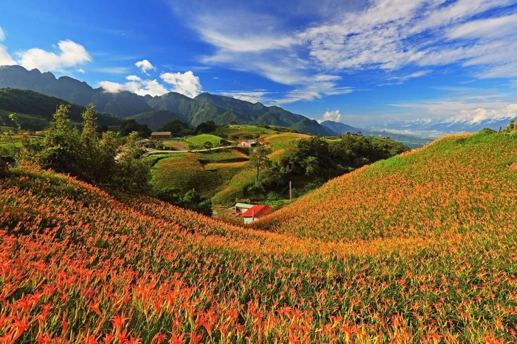 六十石山是花蓮知名的賞金針花景點。圖/富里鄉農會提供