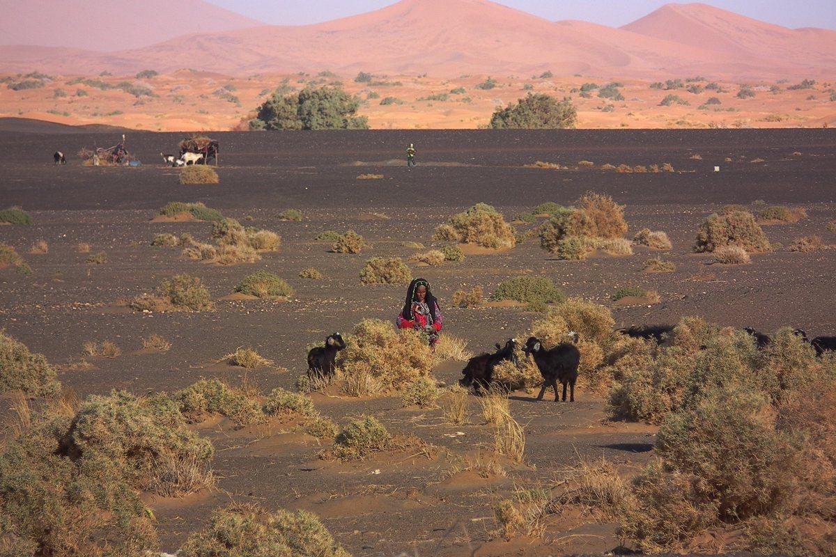 由於乾旱不解,遊牧民族柏柏爾婦女趕著幾頭瘦巴巴的羊兒到處吃草。 蔡適任