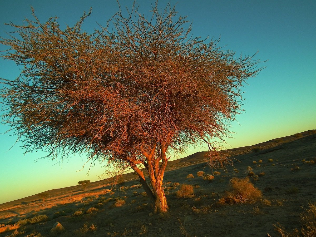 非洲大地標誌性的耐旱樹種:金合歡。