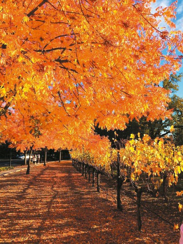 在納帕不僅可品嘗美酒美食,亦可欣賞秋日楓紅。 圖/聯合報有行旅提供