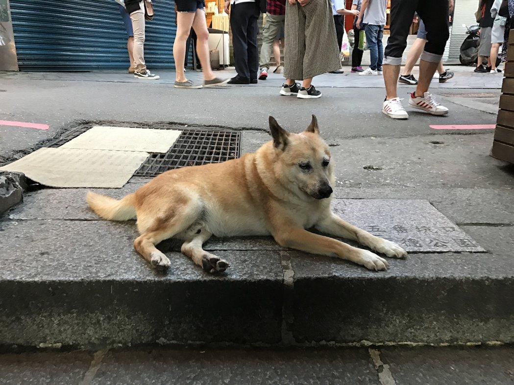 喜歡趴在豎崎路階梯口的小黃,不太理人,但只要有日本遊客到來,牠就會起身,熱心的搖...