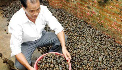 廣西養鱉大戶專門收購福壽螺給鱉吃。 圖/摘自廣西新聞網