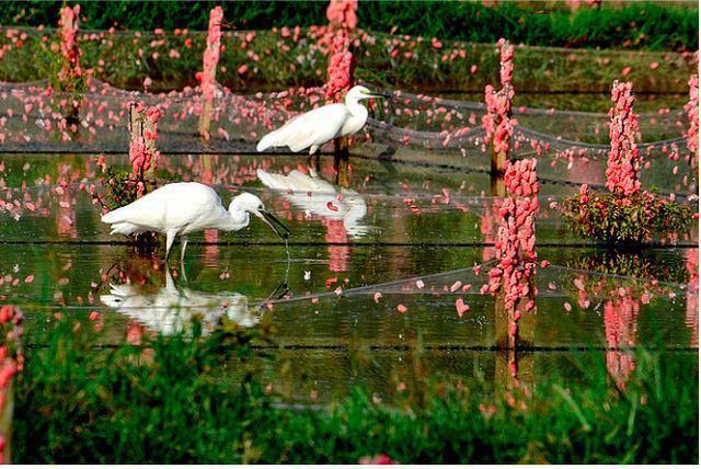 水塘遭受福壽螺卵侵害,粉紅色的螺卵,看了令人作嘔。 圖/摘自搜狐網