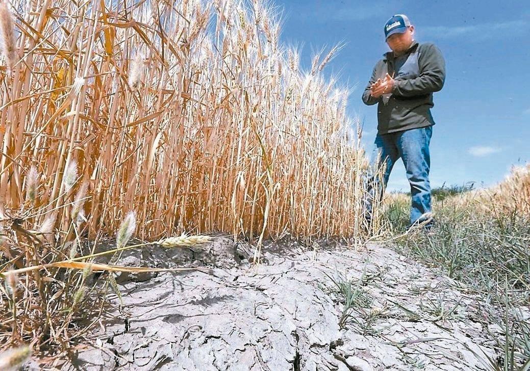 美國中西部乾旱疑慮升溫,加上春麥種植量低於預期,帶動小麥期貨價格攀升至近兩年高點...