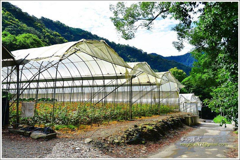 ↑經過一座玫瑰農場,只可欣賞,不可進入摘採。