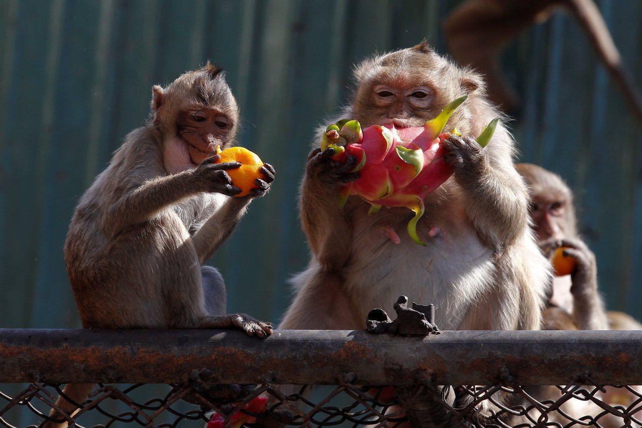 泰國海軍基地薩塔希普基地附近猴子數量多達1萬隻。猴子會偷吃東西,還會破壞電線,海...