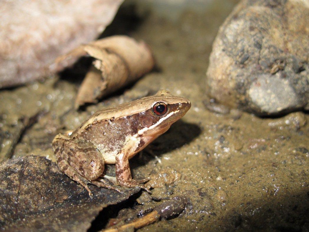 豎琴蛙在臺灣僅知分布南投魚池,且族群數量極少,此次評估列為國家極危(CR)類別。...