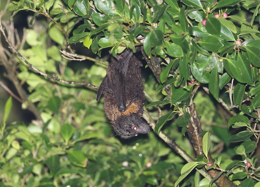台灣狐蝠目前已知分布地區極少且族群數量不明。此次評估列為國家極危(CR)類別。圖...