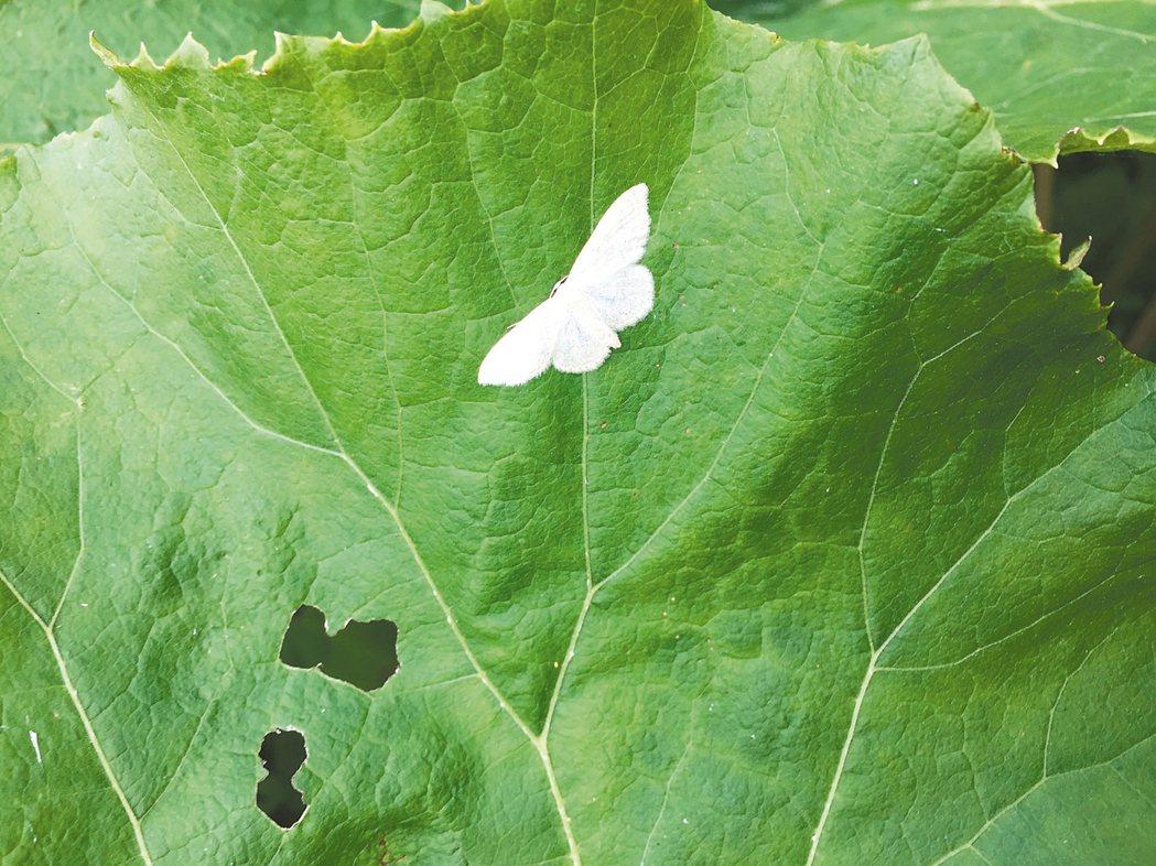圖五:蕗草與白粉蝶。 蔣勳/圖片提供