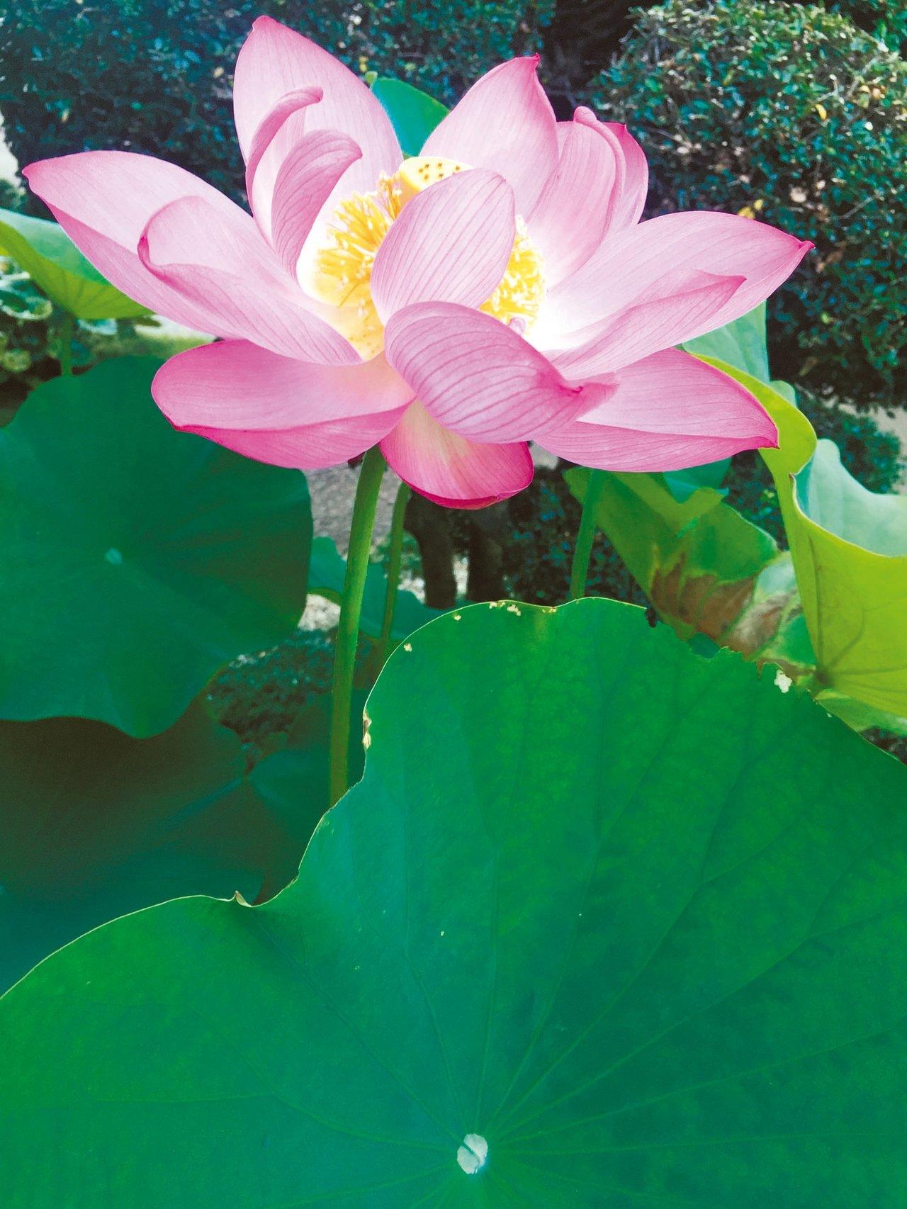 圖七:盛開的大賀蓮。 蔣勳/圖片提供