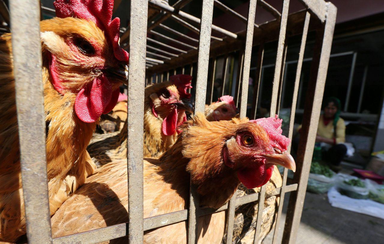 呂宋島中部地區發生禽流感疫情,目前已導致3萬多隻家禽死亡,聯合報系資料照