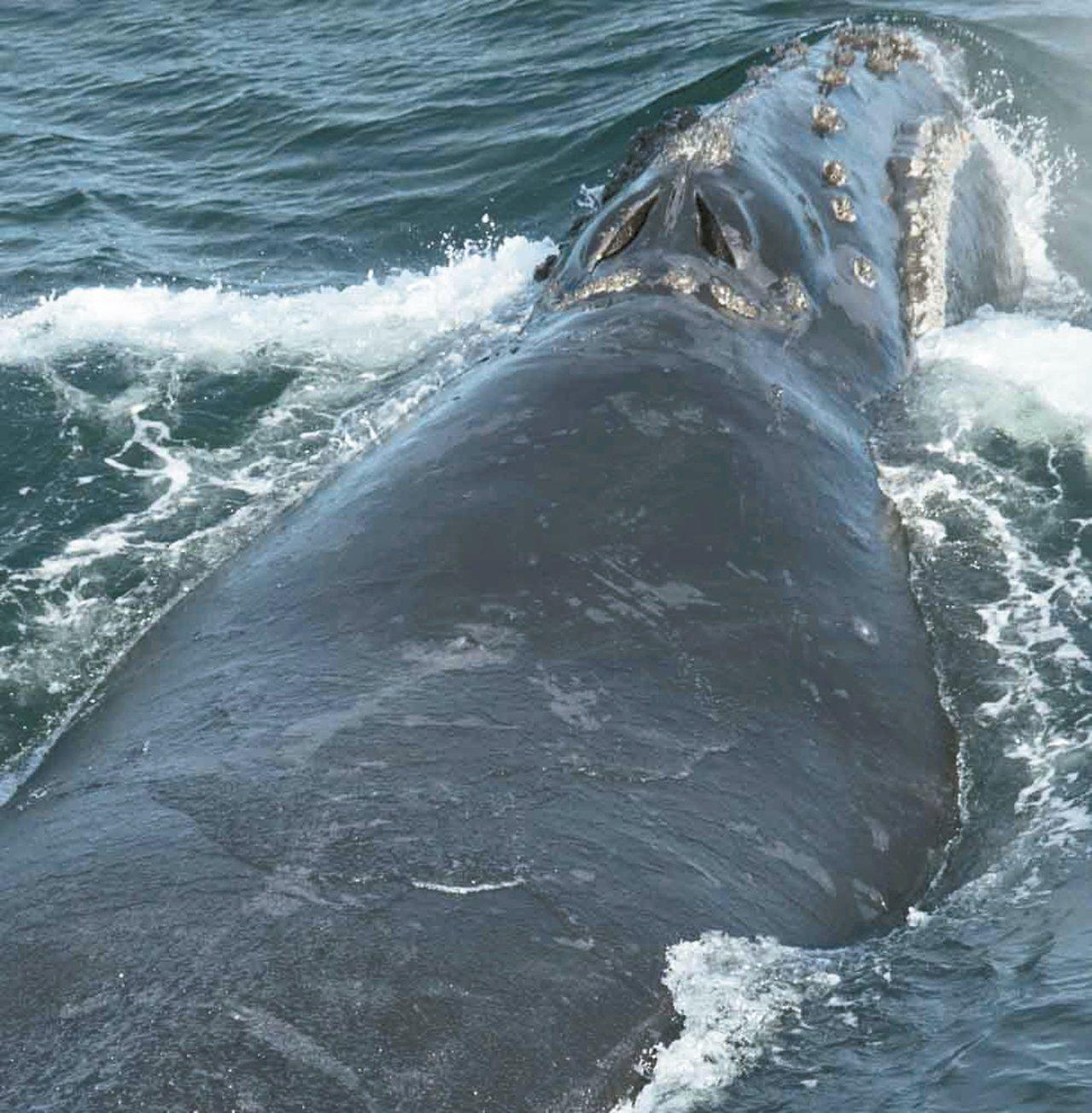 海洋生物學家預估,極端氣候可能會讓北太平洋露脊鯨剩下三十至五十頭。 美聯社
