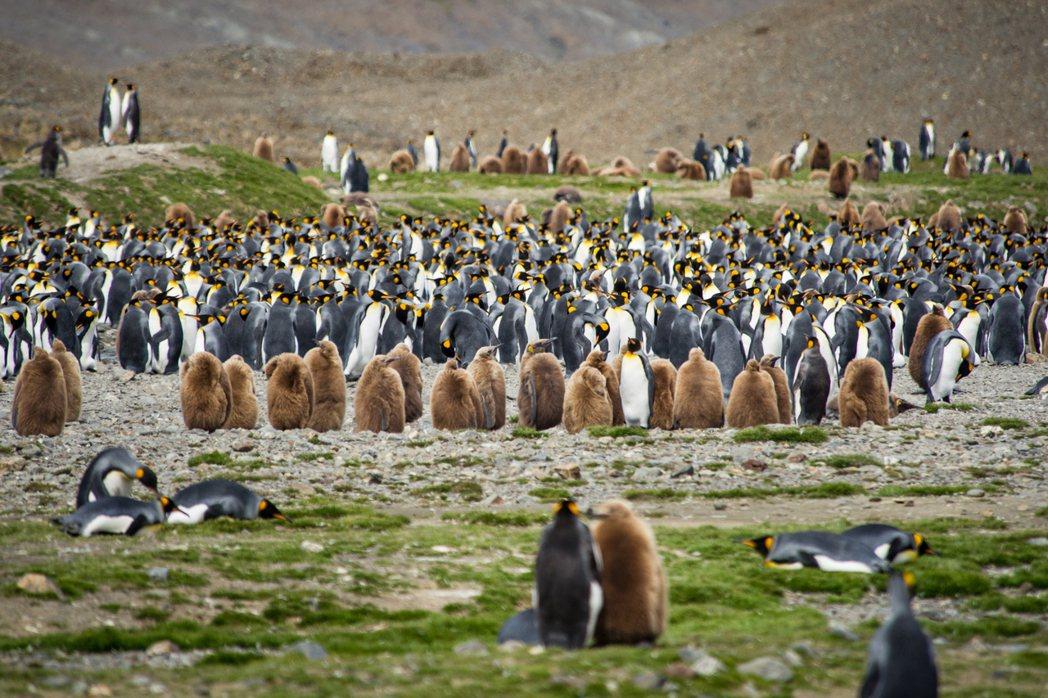 南喬治亞島是國王企鵝的最大棲息地,數量高達五、六十萬隻。圖/發現者旅行社提供