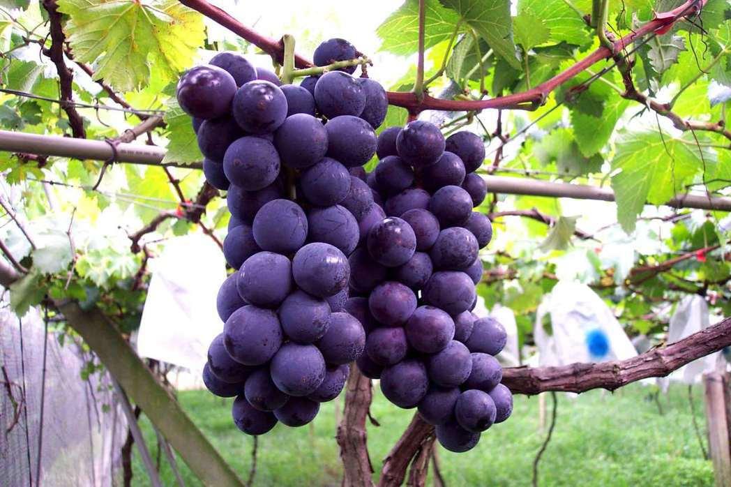 南投縣甜度高達18度的黑紫玉葡萄,今年受到晚腐病的侵襲而大量減產。記者黑中亮/攝...