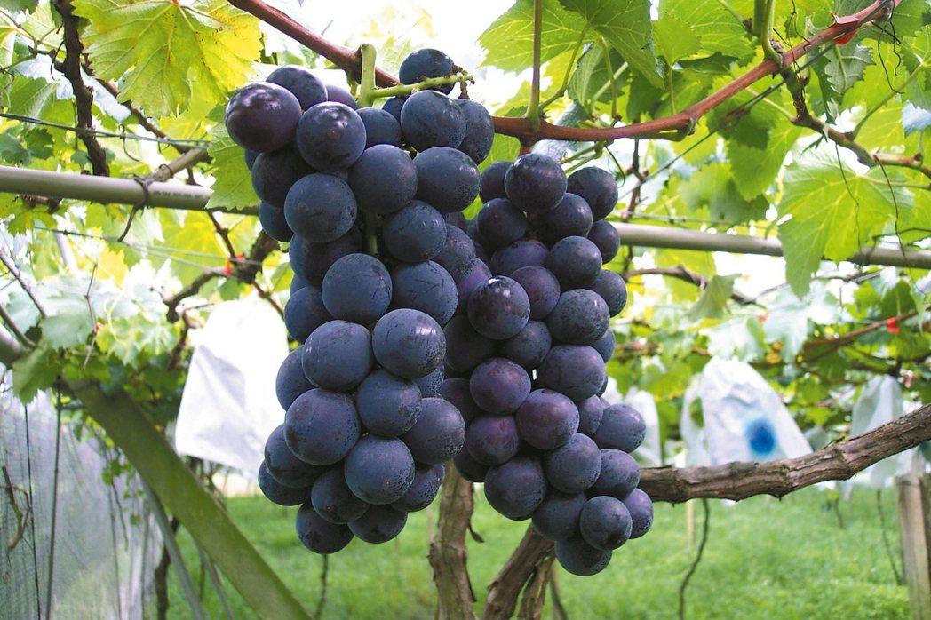 南投縣甜度高達18度的黑紫玉葡萄,今年受到晚腐病的侵襲而大量減產。 記者黑中亮/...