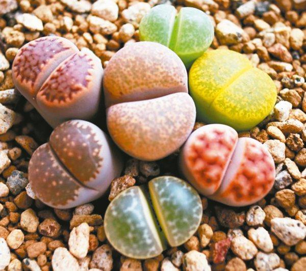 生石花是多肉植物的熱銷冠軍,有「屁屁石頭」的綽號。