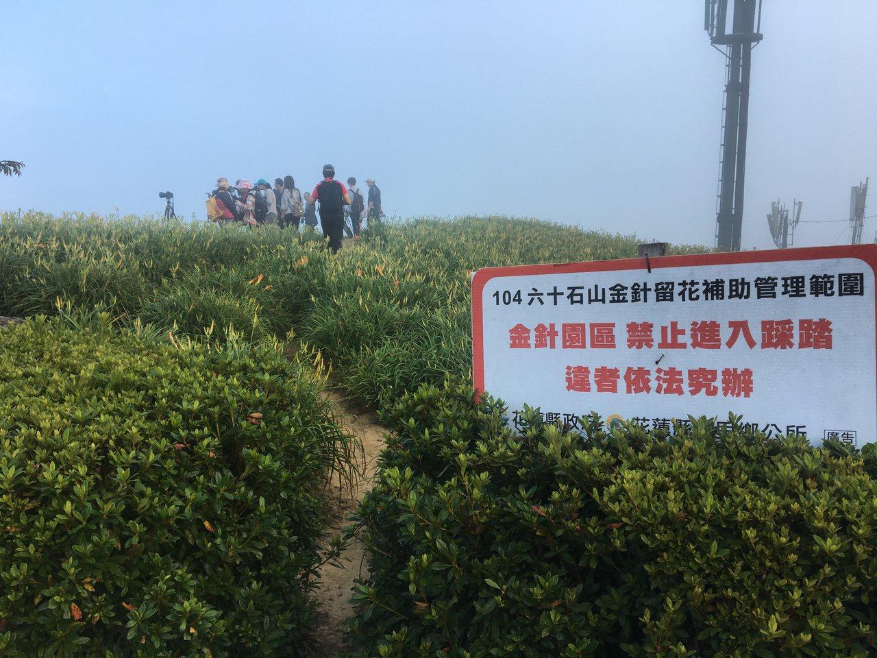 許多遊客無視於步道旁的告示牌,踩進花田踐踏金針花海。 記者徐庭揚/攝影