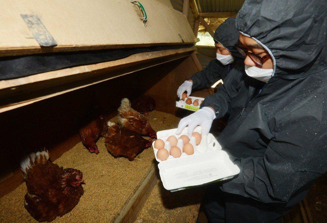 毒雞蛋是否會延燒到雞肉呢? 圖/歐新社