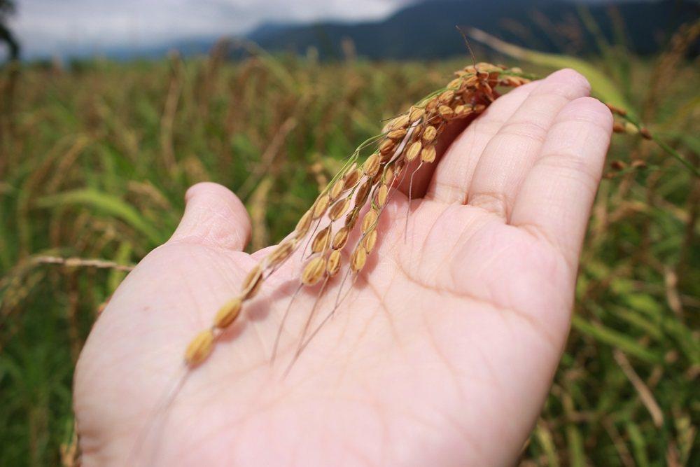 台灣原生種紅米保留古老生物特徵,稻芒長、香氣濃。圖/顧瑋提供