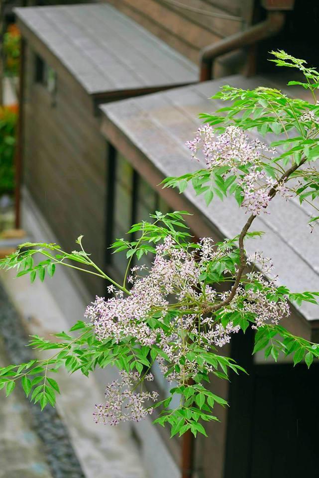 粉紫的苦楝花簇開滿在灰綠的葉叢之上。(圖/國立台灣文學館)