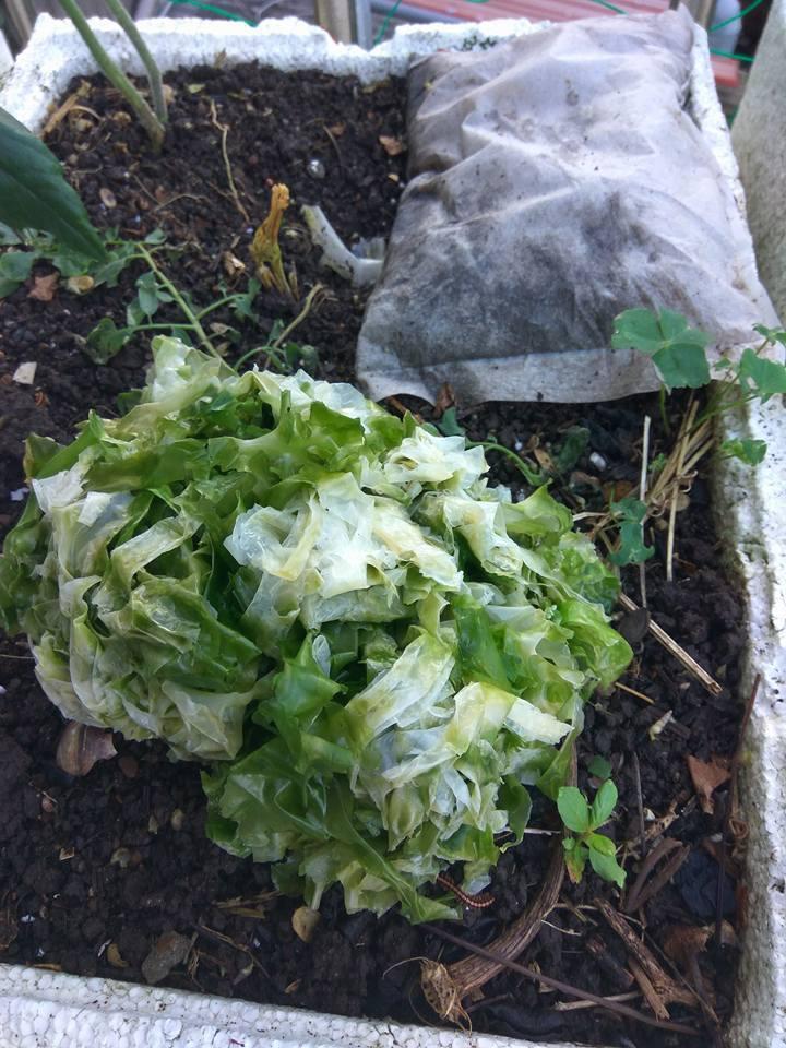 彭姓婦人發現丟進菜園的海帶芽經過高溫曝曬後,開始褪色。圖/彭姓婦人提供