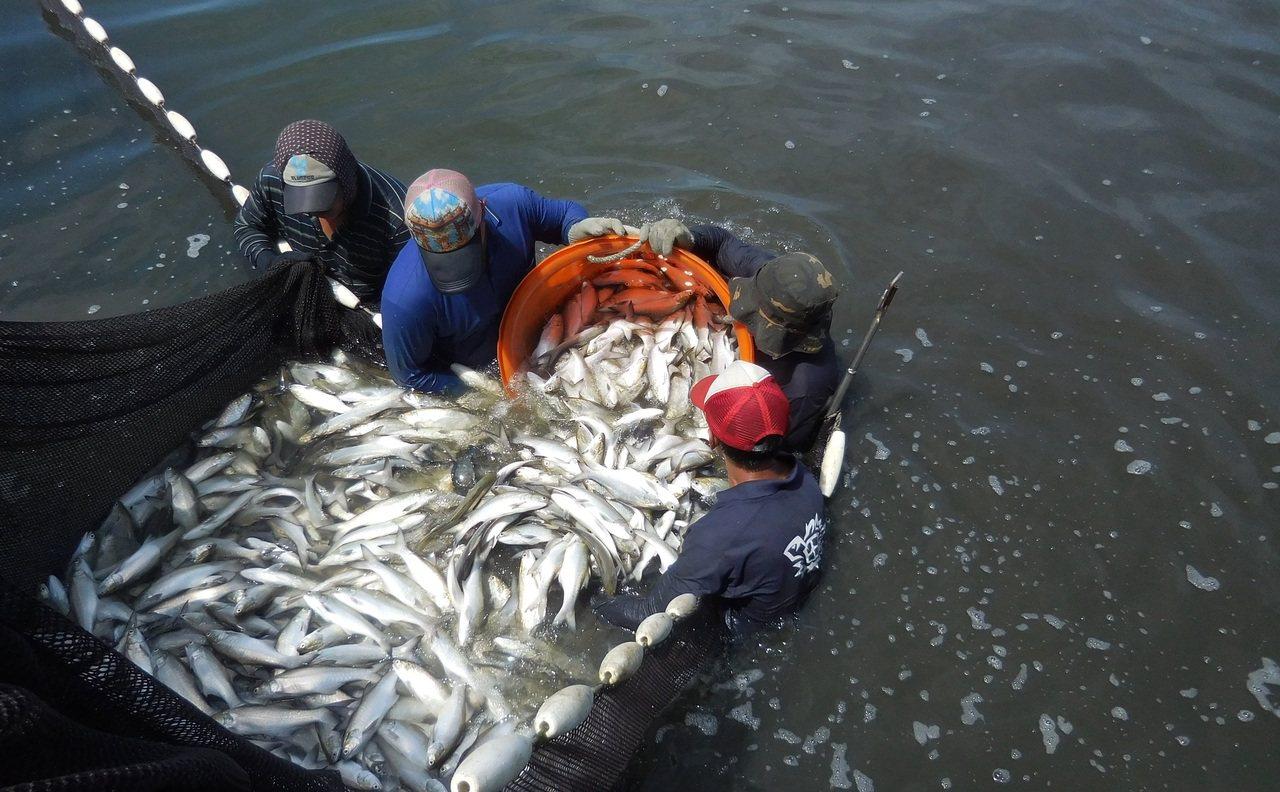 屏東佳冬林邊地區的午仔魚養殖業者,這次雙颱過後搶著出魚。記者蔣繼平/翻攝