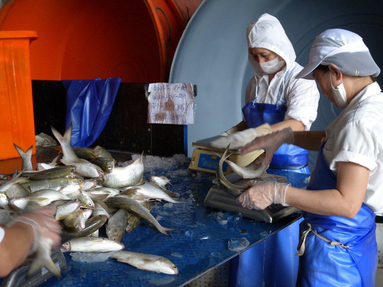 業者正在替午仔魚分類秤重。記者蔣繼平/翻攝