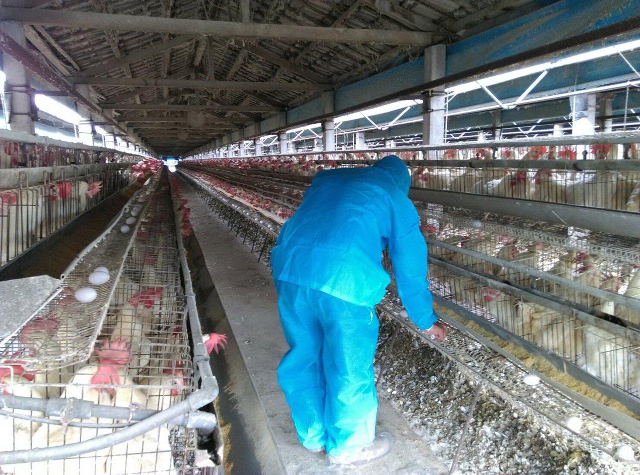 彰化縣動物防疫所今天仍總動員,會同鄉鎮公所獸醫師到蛋雞場採樣,每場都要隨機採取1...