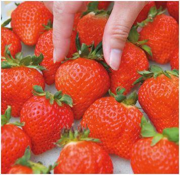在工研院協助下,溫室草莓以「光之莓」品牌進軍日系頂級超市, 並搶攻年節宅配送禮市...