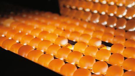 洗選蛋工廠使用光線來檢測篩選裂蛋。 攝影/林穎成