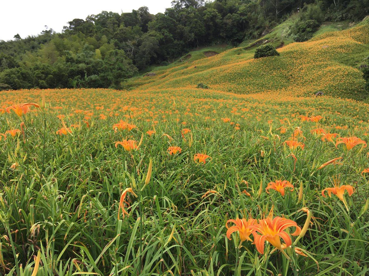 近日降雨,為赤柯山上的金針花解渴,也開得更茂盛。記者徐庭揚/攝影 徐庭揚