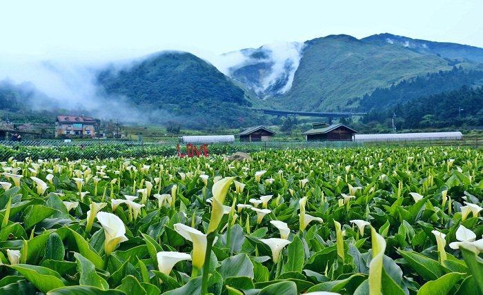 竹子湖美麗的海芋田。(圖╱大島台灣提供)