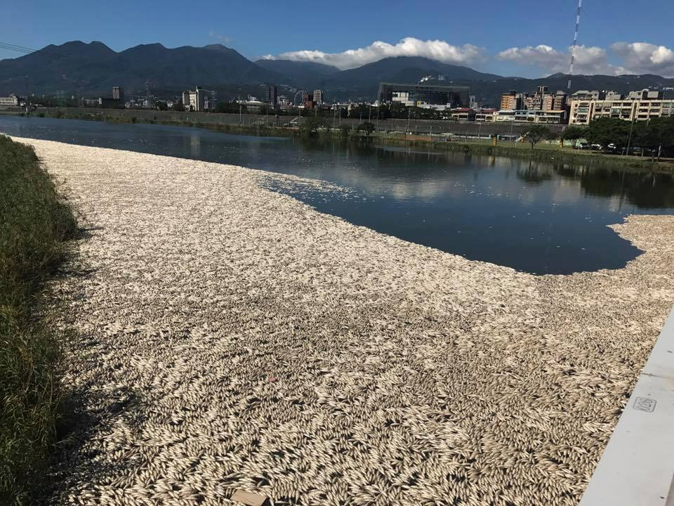 台北市基隆河沿岸出現大量死亡烏仔魚,綿延河岸數百公尺,畫面驚悚駭人,北市環保局研...