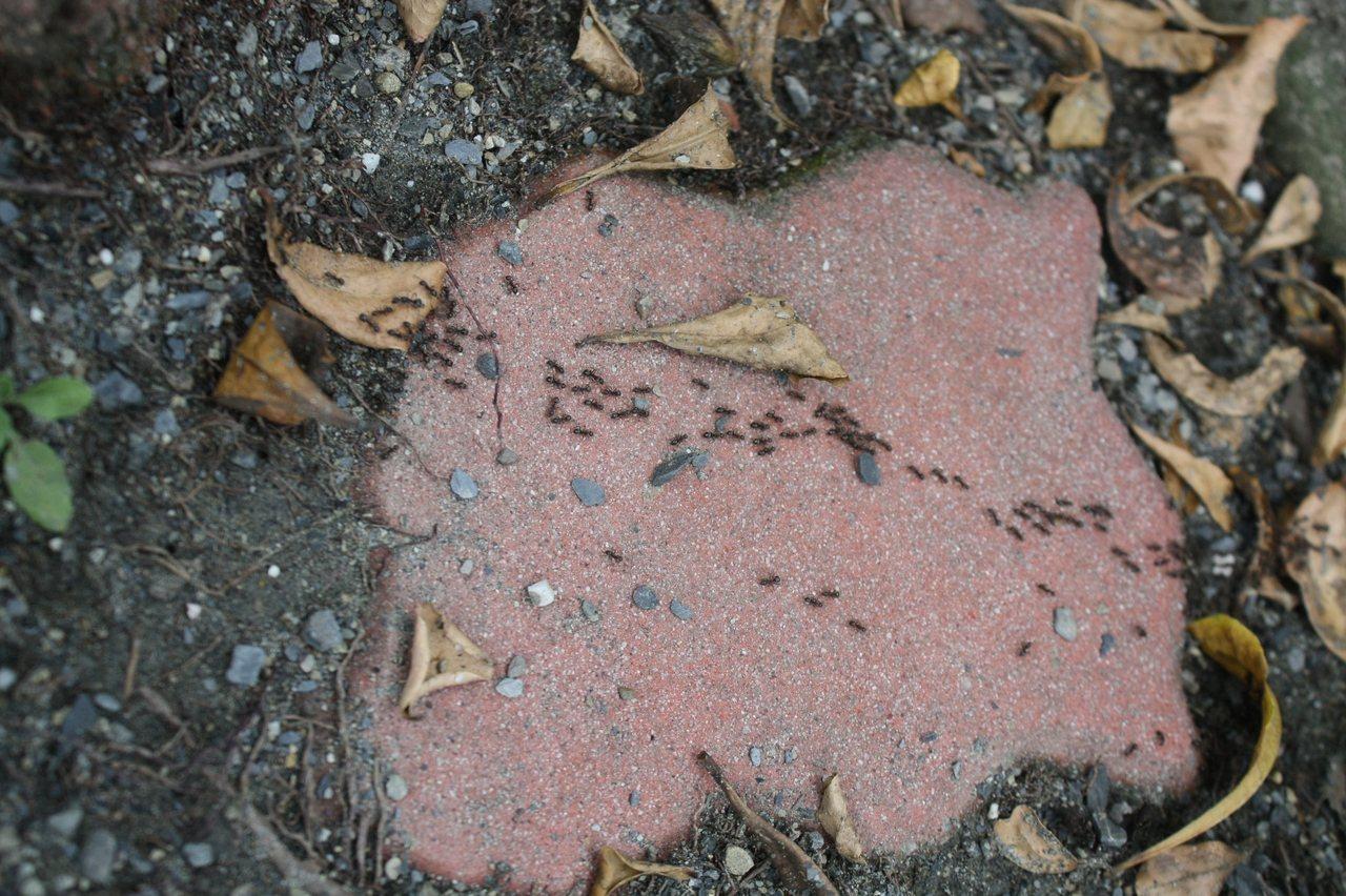 疣胸琉璃蟻造成的蟻災,今夏再度讓大南投幾乎全淪陷,集集鎮公所決定自籌防治預算。記...